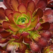 (14/11/2017) Aeonium 'Phoenix Flame' added by Shoot)