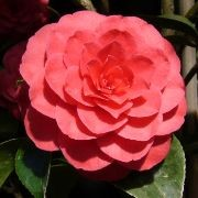 (29/11/2017) Camellia japonica 'Eximia' added by Shoot)
