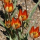 Tulipa orphanidea Whittallii Group