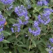 (14/12/2017) Caryopteris x clandonensis 'Blue Balloon' added by Shoot)