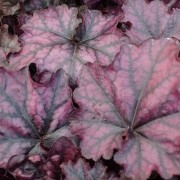 (11/01/2018) Heuchera 'Mulberry' (Indian Summer Series) added by Shoot)