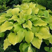 (31/01/2018) Hosta 'Lakeside Cha Cha' added by Shoot)