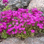 (05/02/2018) Arabis alpina subsp. caucasica 'Pinkie' added by Shoot)
