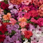 (14/02/2018) Impatiens walleriana Tempo Series added by Shoot)