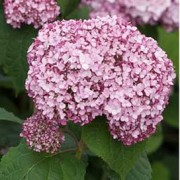 (15/02/2018) Hydrangea arborescens 'Incrediball Blush' added by Shoot)