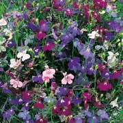 (01/03/2018) Lobelia erinus Rainbow Cascade Mix added by Shoot)