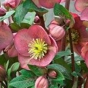 (02/03/2018) Helleborus (Rodney Davey Marbled Group) 'Pippa's Purple' added by Shoot)