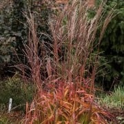 (02/03/2018) Miscanthus 'Navajo' added by Shoot)
