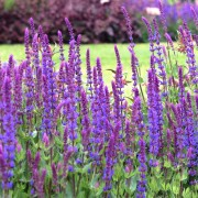 (03/03/2018) Salvia x sylvestris 'Tanzerin'  added by Shoot)