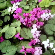 (03/03/2018) Cyclamen coum subsp. coum f. coum Pewter Group added by Shoot)