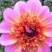 (03/03/2018) Dahlia 'Floorinoor' added by Shoot)