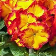 (04/03/2018) Primula 'Fire Dragon' added by Shoot)