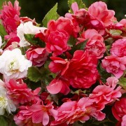 (07/03/2018) Begonia Super Scented Mix added by Shoot)