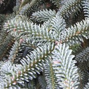 (07/03/2018) Abies numidica 'Glauca' added by Shoot)