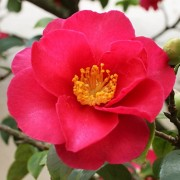 (07/03/2018) Camellia japonica 'Spring's Promise' added by Shoot)