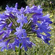 (08/03/2018) Agapanthus 'Amsterdam' added by Shoot)
