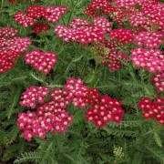 (09/03/2018) Achillea 'Petra' added by Shoot)
