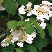 (09/03/2018) Viburnum plicatum f. tomentosum added by Shoot)