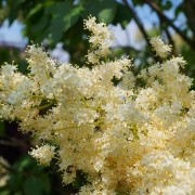 (09/03/2018) Syringa reticulata subsp. pekinensis 'Yellow Fragrance' added by Shoot)