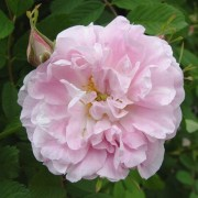 (09/03/2018) Rosa 'Martin Frobisher' added by Shoot)