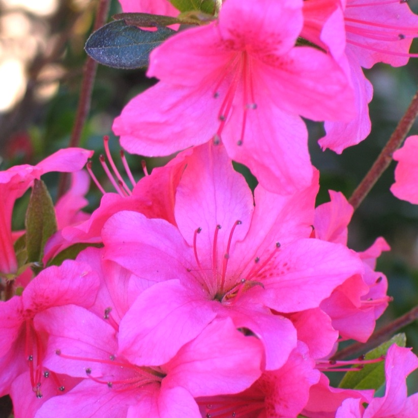 Rhododendron 'Conny'