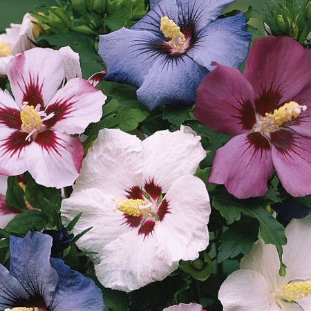 Hibiscus syriacus (any variety)