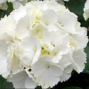 (12/03/2018) Hydrangea macrophylla 'Nymphe' added by Shoot)