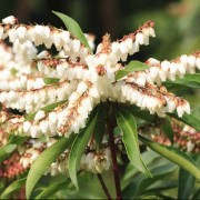(12/03/2018) Pieris 'Brouwer's Beauty' added by Shoot)