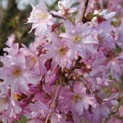(13/03/2018) Prunus x subhirtella 'Fukubana' added by Shoot)