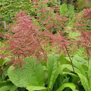 (13/03/2018) Rodgersia aesculifolia var. henrici added by Shoot)