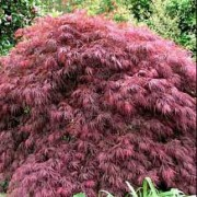 (14/03/2018) Acer palmatum 'Stella Rossa' added by Shoot)