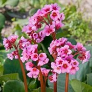 (14/03/2018) Bergenia 'Flower Joy' added by Shoot)
