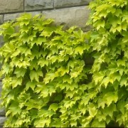 (14/03/2018) Parthenocissus tricuspidata 'Fenway Park' added by Shoot)