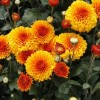 Chrysanthemum 'Wendy'