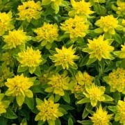 (15/03/2018) Euphorbia epithymoides 'Senior' added by Shoot)