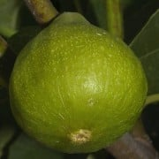 (15/03/2018) Ficus carica 'Jannot' added by Shoot)