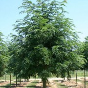 (15/03/2018) Gleditsia triacanthos 'Skyline' added by Shoot)
