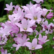 (15/03/2018) Campanula lactiflora dwarf pink-flowered added by Shoot)