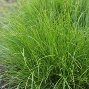 (22/03/2018) Carex remota added by Shoot)