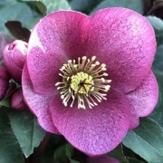 (26/03/2018) Helleborus (Rodney Davey Marbled Group) 'Charmer' added by Shoot)