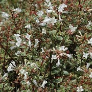 (26/03/2018) Abelia x grandiflora 'Panache' added by Shoot)