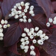 (26/03/2018) Cornus alba 'Siberian Pearls' added by Shoot)