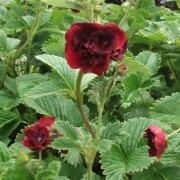 (27/03/2018) Potentilla 'Volcan' added by Shoot)