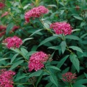(28/03/2018) Spiraea japonica 'Dart's Red' added by Shoot)