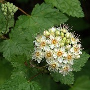 (30/03/2018) Physocarpus capitatus added by Shoot)