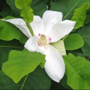 (03/04/2018) Magnolia macrophylla subsp. ashei added by Shoot)