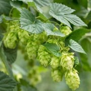 (05/04/2018) Humulus lupulus 'Fuggle' added by Shoot)