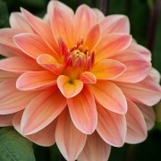 (09/04/2018) Dahlia 'Mister Frans' added by Shoot)