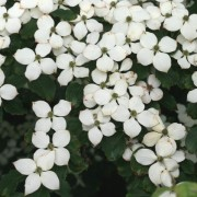 (16/04/2018) Cornus kousa 'Schmetterling' added by Shoot)