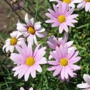 (17/04/2018) Argyranthemum 'Petite Pink' added by Shoot)